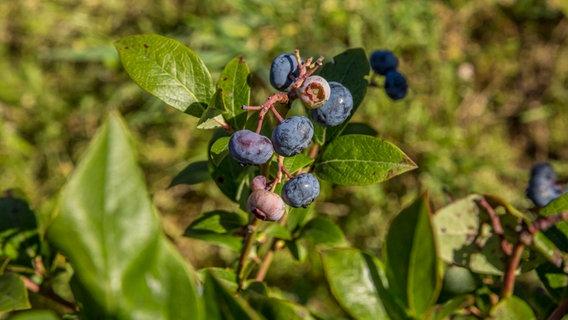 Heidelbeeren Im Kubel Und Beet Pflanzen Ndr De Ratgeber Garten