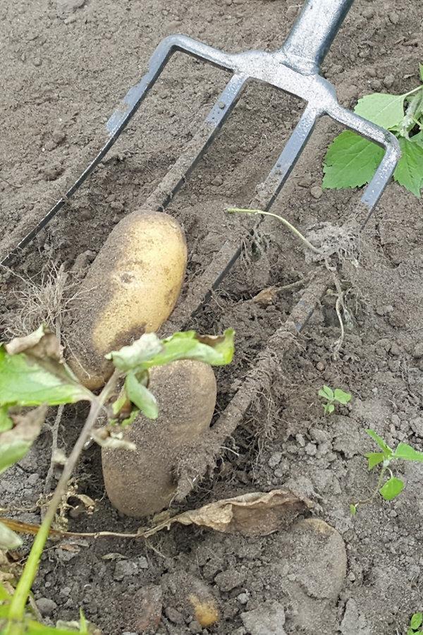 Kartoffeln Ernten Und Lagern