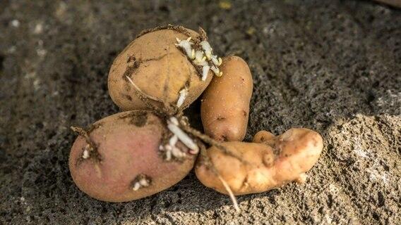 Kartoffeltomate