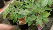 tomoffel kartoffeln und tomaten veredeln ratgeber garten nutzpflanzen. Black Bedroom Furniture Sets. Home Design Ideas