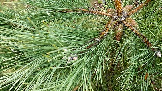 Tannenarten Weihnachtsbaum.Die Beliebtesten Nadelbaumsorten Ndr De Ratgeber Garten