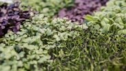 Verschiedene Microgreens © picture alliance / dpa Themendienst Foto: Robert Guenther