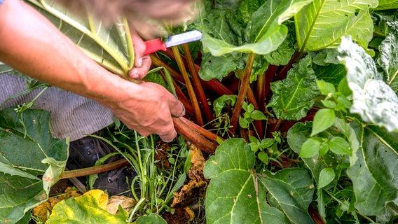 Berühmt Rhabarber pflanzen, pflegen und ernten | NDR.de - Ratgeber @ZX_79