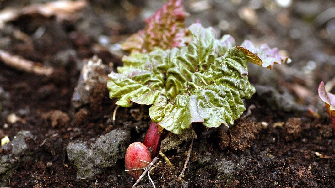Rhabarberpflanzen
