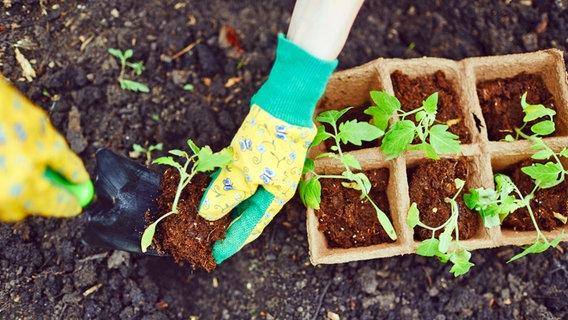 Tomaten Pflanzen Pikieren Und Dungen Ndr De Ratgeber Garten
