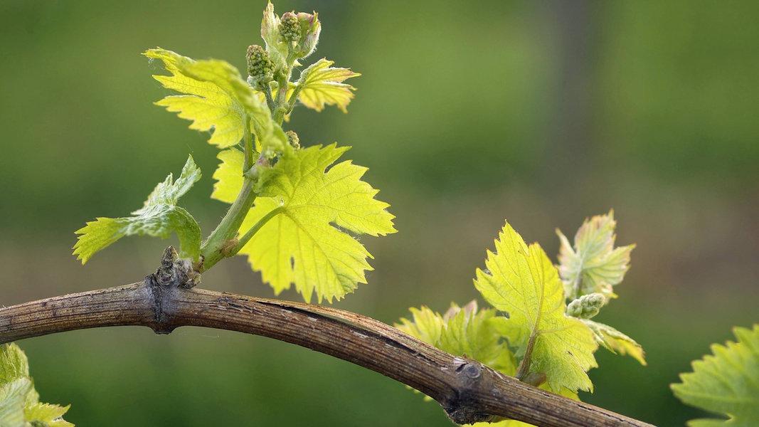 Beliebt Bevorzugt Wein im eigenen Garten anbauen | NDR.de - Ratgeber - Garten #GQ_43