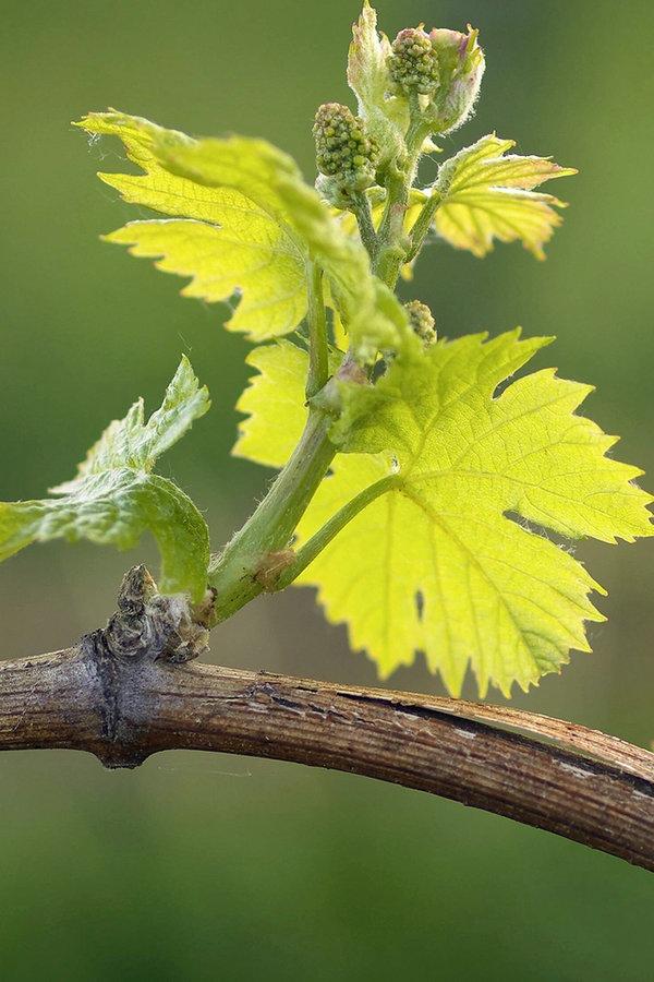 Wein im eigenen garten anbauen ratgeber garten for Weintrauben im garten anbauen