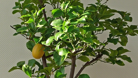 Orangen- und Zitronenbäume richtig überwintern | NDR.de - Ratgeber ...