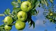 Äpfel der Sorte Seestermüher Zitronenapfel auf einem Obstgarten.