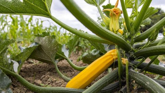 Gemüse Im Garten Anbauen Die Wichtigsten Tipps Ndrde Ratgeber