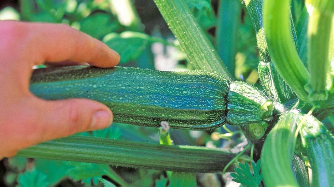 Extrem Zucchini pflanzen, anbauen und ernten | NDR.de - Ratgeber - Garten NK69