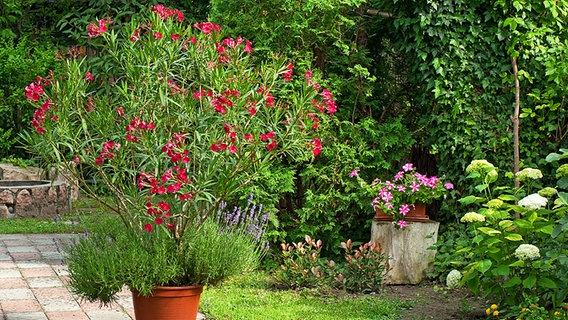 oleander pflegen und berwintern ratgeber garten zierpflanzen. Black Bedroom Furniture Sets. Home Design Ideas