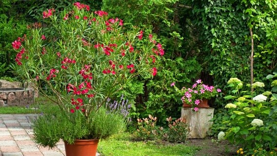oleander pflegen und berwintern ratgeber. Black Bedroom Furniture Sets. Home Design Ideas
