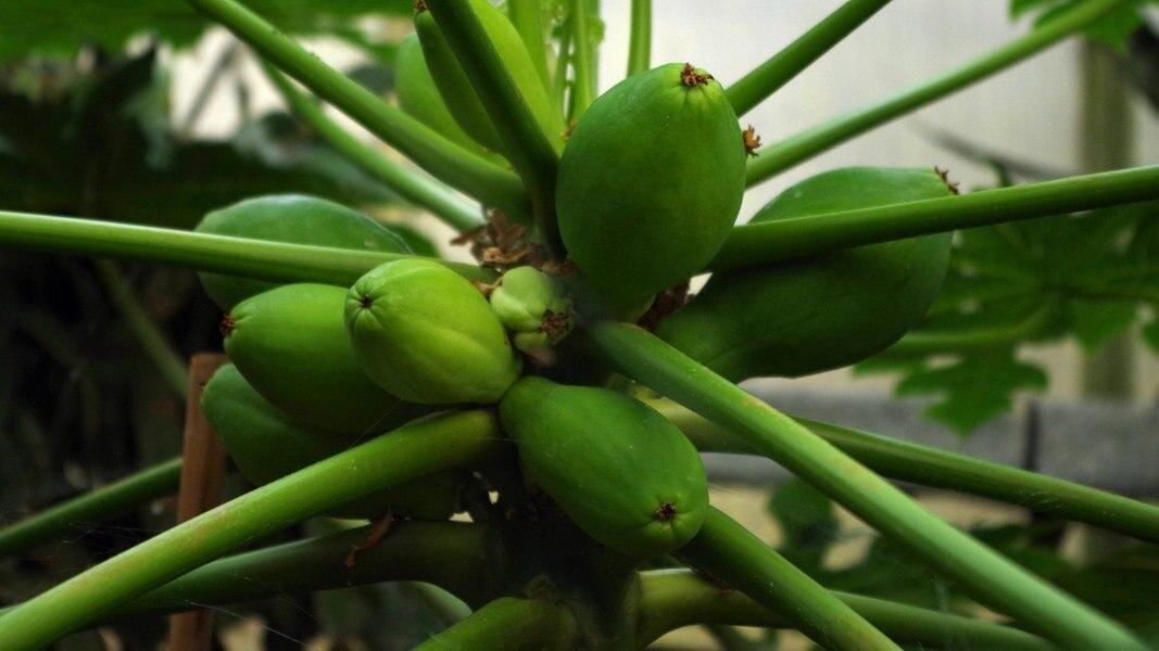 Avocado, Ananas Und Co: Exotische Pflanzen Züchten | NDR.de   Ratgeber    Garten