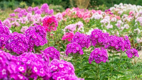 Prächtig Der richtige Winterschutz für Sommerblumen | NDR.de - Ratgeber &WJ_81