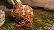 Eine Amaryllis-Zwiebel mit Wurzeln. © NDR