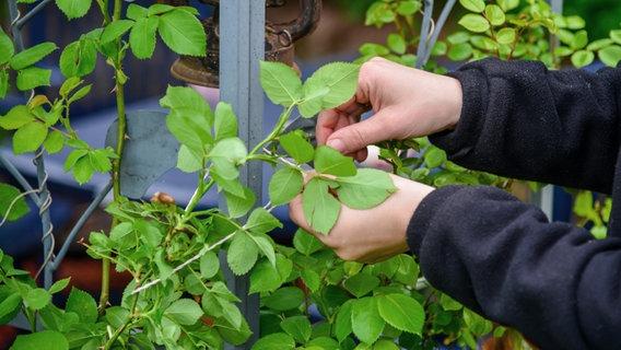 Kletterbogen Pflanzen : Kletter und rankrosen pflanzen ndr.de ratgeber garten