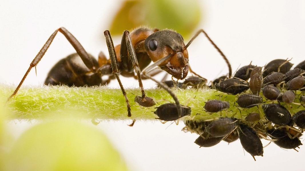 Ganz und zu Extrem Ameisen: So vertreibt man die lästigen Krabbler | NDR.de - Ratgeber &UU_04