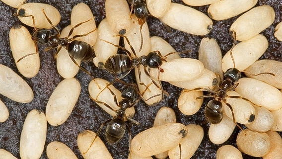 Ameisen: So vertreibt man die lästigen Krabbler | NDR.de ...