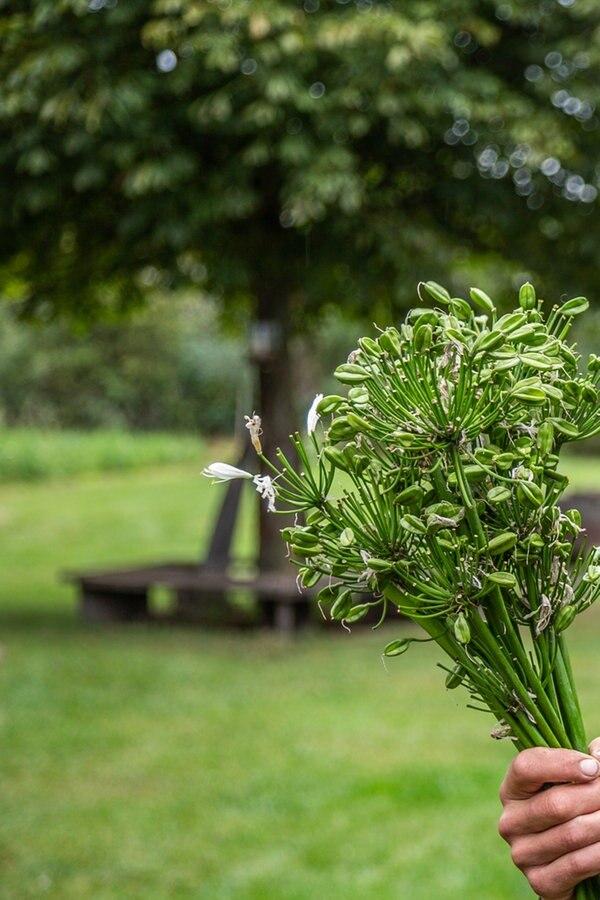 Agapanthus vermehren und umpflanzen