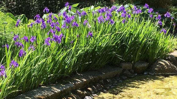 Schwertlilien Pflanzen Pflegen Vermehren Ndrde Ratgeber