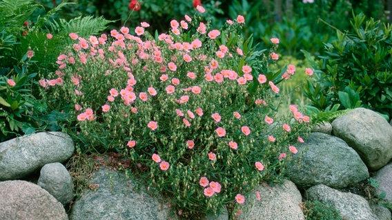 gartengestaltung pflegeleichte pflanzen pflegeleichter garten mit den richtigen pflanzen   ndr.de