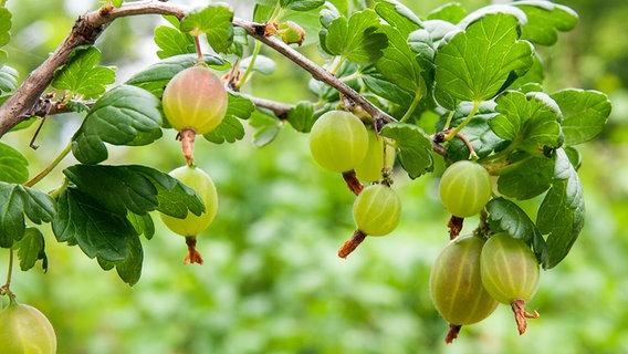Berühmt Beerensträucher pflanzen, pflegen und schneiden   NDR.de &KC_19