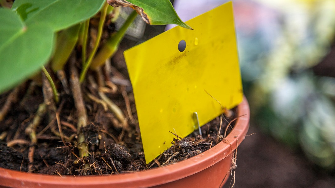 Trauermücken Mit Hausmitteln Bekämpfen Ndrde Ratgeber Garten