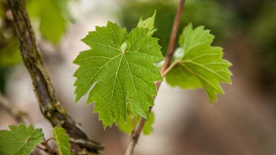 Etwas Neues genug Wein im eigenen Garten anbauen | NDR.de - Ratgeber - Garten @XY_95