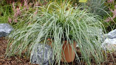 Gräser Garten ziergräser pflanzen pflegen und vermehren ndr de ratgeber