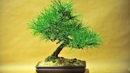 Bonsai © picture-alliance / maxppp Fotograf: Didier Crasnault