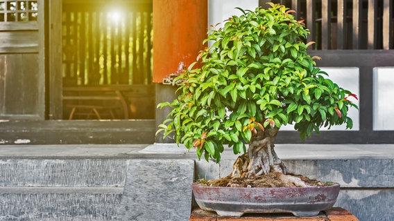 Bonsai Baume Kaufen Pflegen Und Schneiden Ndr De Ratgeber Garten Zierpflanzen