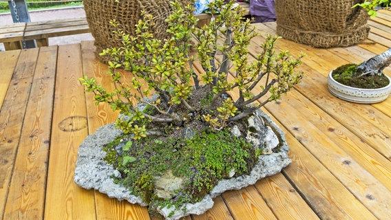 Bonsai kaufen schneiden und pflegen ndrde ratgeber for Whirlpool garten mit bonsai wo kaufen