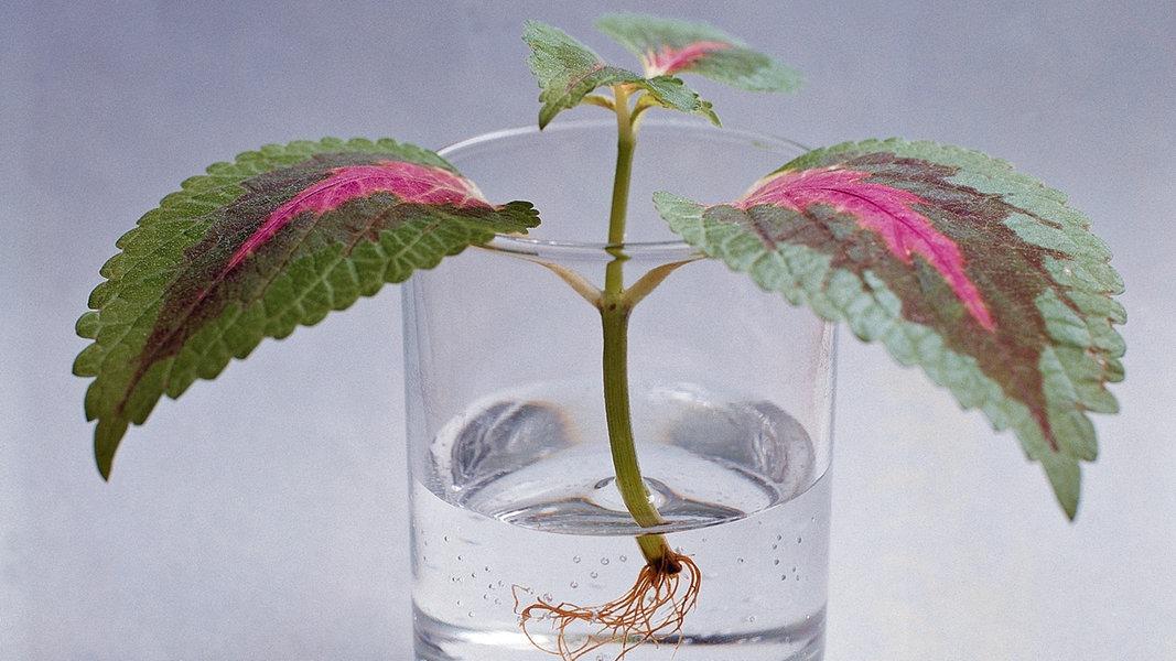 Zimmerpflanzen Vermehren So Geht S Ndr De Ratgeber Garten