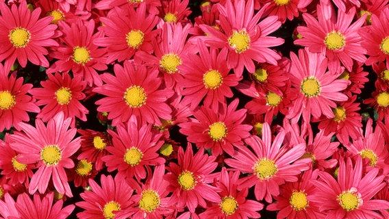 chrysanthemen pflegen und berwintern ratgeber garten zierpflanzen. Black Bedroom Furniture Sets. Home Design Ideas