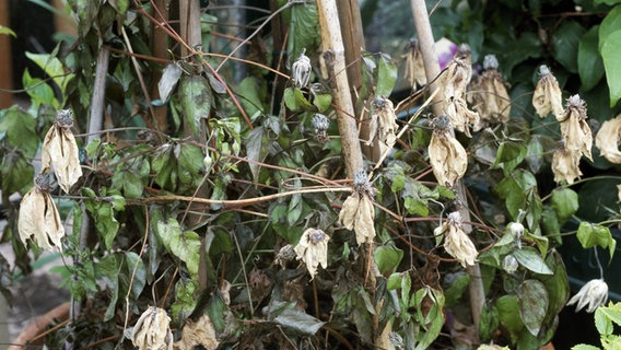 Welkepilz Was Hilft Bei Vertrockneten Clematis Blattern Ndr De Ratgeber Garten Schadlinge