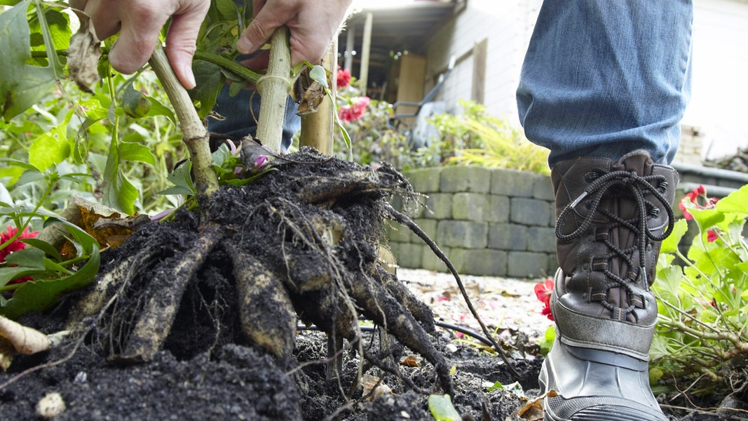 dahlien knollen einlagern und berwintern ratgeber garten zierpflanzen. Black Bedroom Furniture Sets. Home Design Ideas