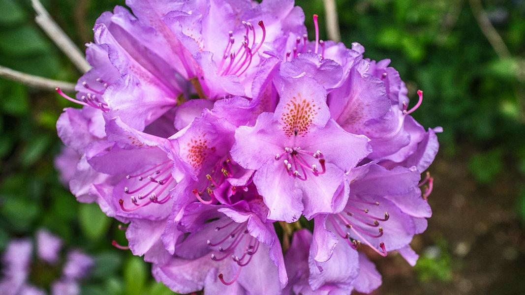 rhododendron schneiden und pflegen ratgeber garten zierpflanzen. Black Bedroom Furniture Sets. Home Design Ideas