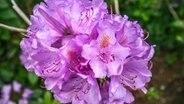 rhododendron pflegen und krankheiten erkennen ratgeber garten zierpflanzen. Black Bedroom Furniture Sets. Home Design Ideas