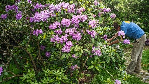 Sehr Rhododendron schneiden und pflegen | NDR.de - Ratgeber - Garten RR54