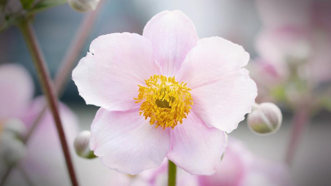 Herbst Anemonen Pflanzen Pflegen Und Vermehren Ndr De Ratgeber