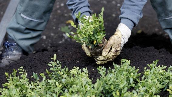 buchsbaum alternativen f r die beet einfassung ratgeber garten zierpflanzen. Black Bedroom Furniture Sets. Home Design Ideas