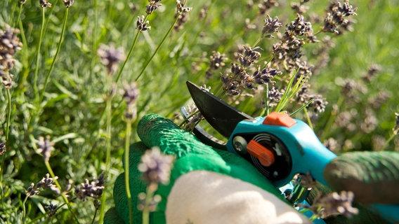 Verbluhten Lavendel Im Sommer Schneiden Ndr De Ratgeber Garten