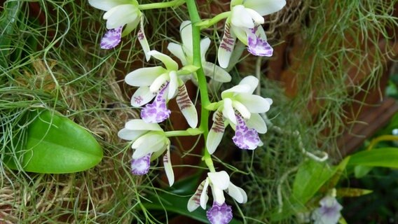 werden orchideen korrekt gek rzt bl hen sie wieder. Black Bedroom Furniture Sets. Home Design Ideas