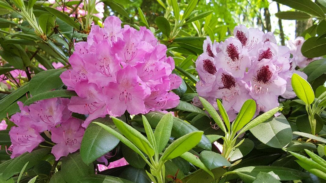 Super Rhododendron pflegen und Krankheiten erkennen | NDR.de - Ratgeber @FU_85