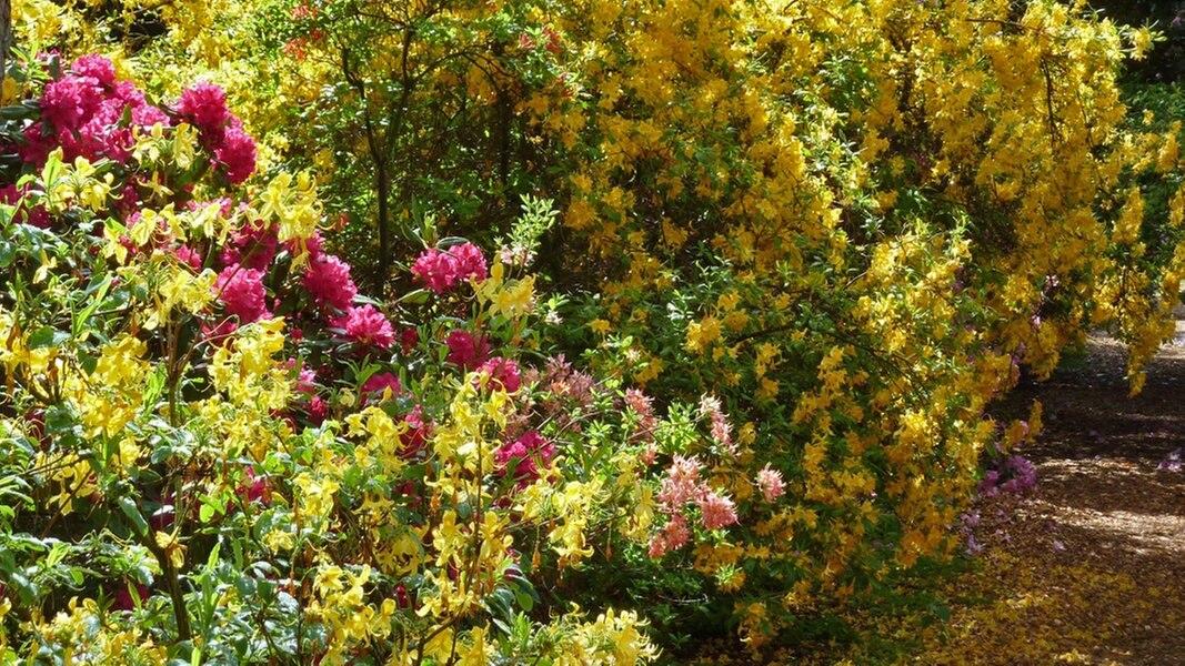 hier bl hen rhododendren besonders sch n ratgeber reise. Black Bedroom Furniture Sets. Home Design Ideas