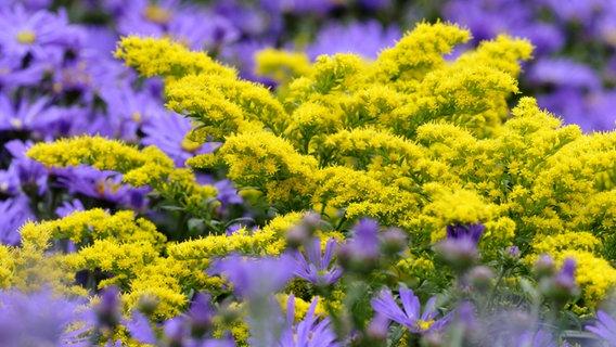 Herbststauden Pflanzen Und Pflegen Ndr De Ratgeber Garten