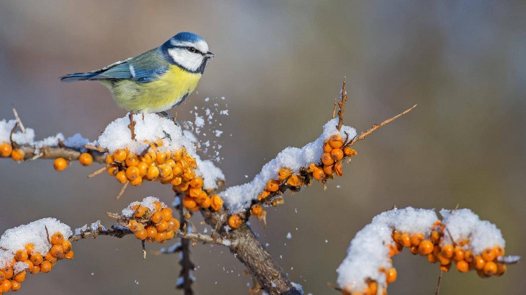 Sträucher mit Beeren: Schöne Deko und Vogelfutter
