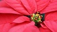Weihnachtsstern mit roten Blättern © ysbrandcosijn / Fotolia Photo: ysbrandcosijn