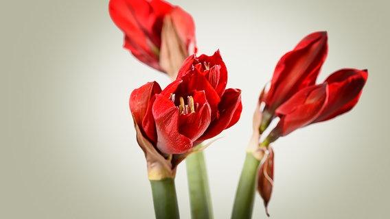 die richtige pflege f r amaryllis und ritterstern ratgeber garten zimmerpflanzen. Black Bedroom Furniture Sets. Home Design Ideas